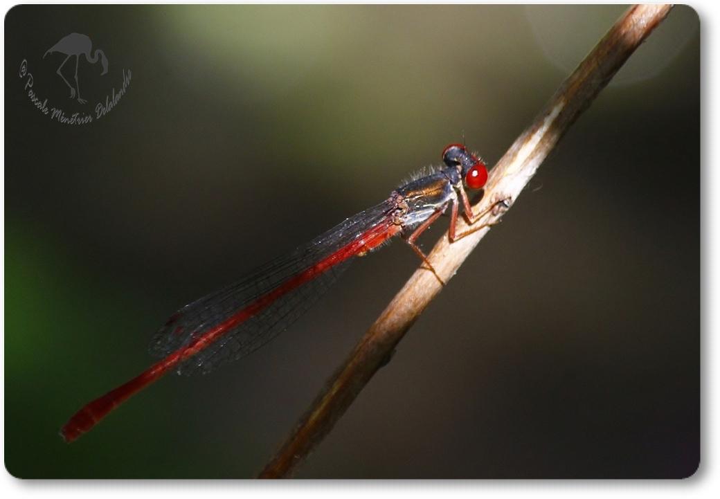 Agrion délicat (Ceriagrion tenellum) mâle...