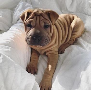Un chien qui fait des plis ...