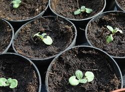 Des nouvelles des semis (2)