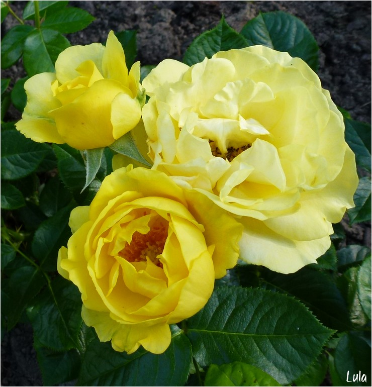 "rosier floribunda  ""Walking on the Sunshine"""
