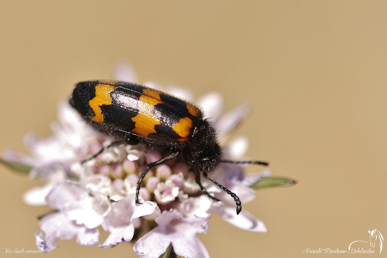 Mylabre inconstant - Mylabris variabilis