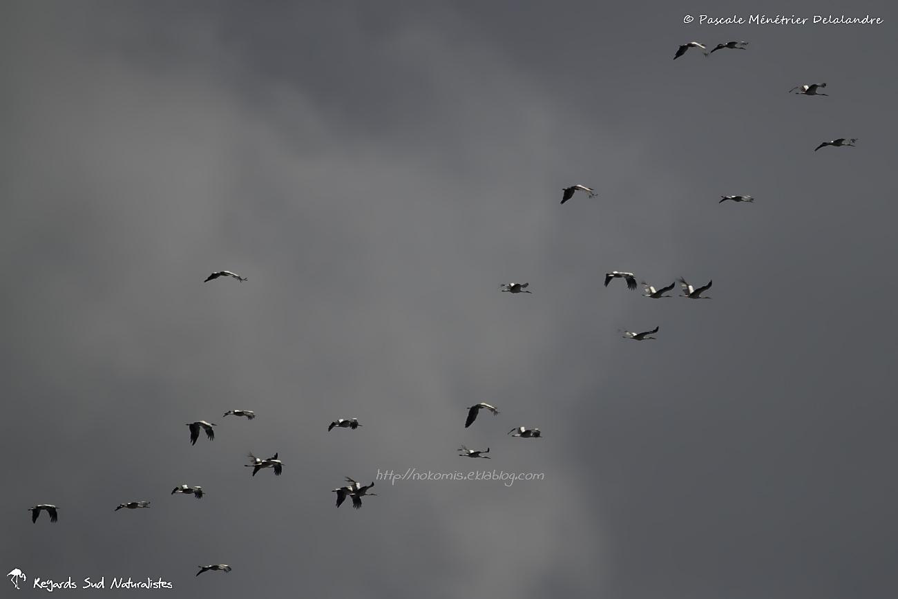 Cigognes blanches, le départ en migration...