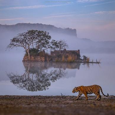 Le tigre du Bengale ...