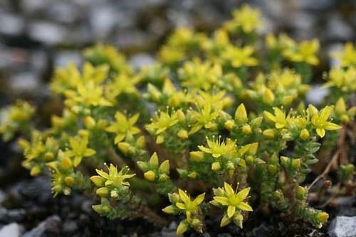 Vertus médicinales des plantes sauvages : Sedum Reprise