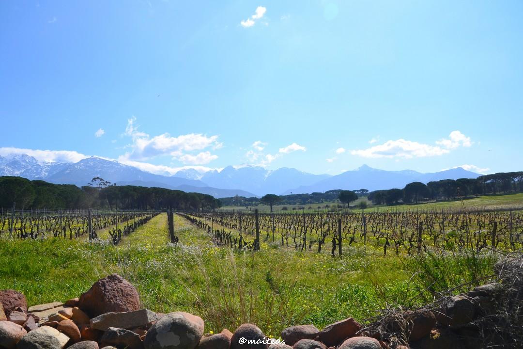 Les vignes calvaises - Calvi - Corse