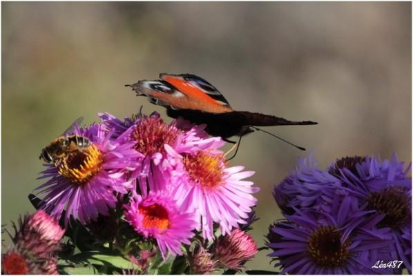 Papillons-2-2998-paon-du-jour-et-syrphe.jpg