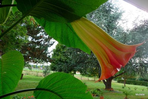 La fleur du datura ...