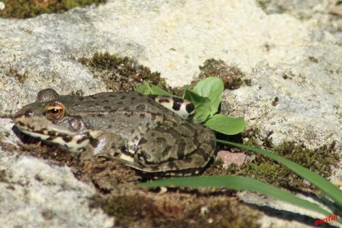 le bassin a grenouilles