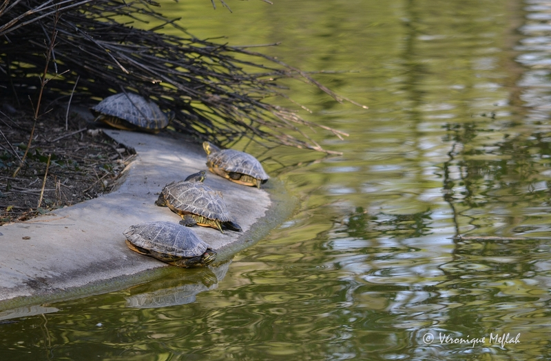 Des tortues de Floride au Parc Montsouris