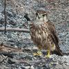 Faucon émerillon femelle 2e année (Obsonville 31 mai 2015) © Joël Savry