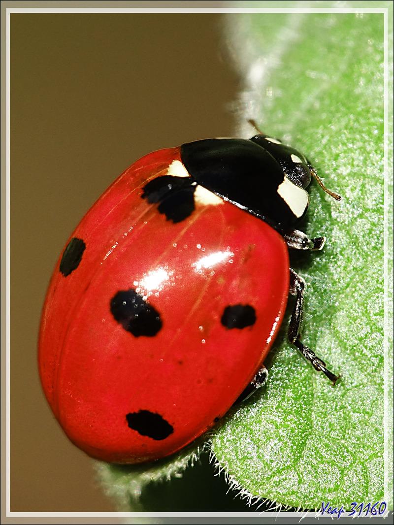 Coccinelle à sept points (Coccinella septempunctata) - Lartigau - Milhas - 31