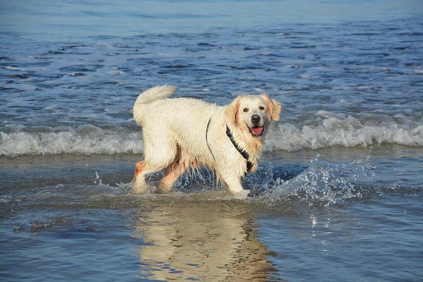 Nos Goldens adorent l'eau page 3