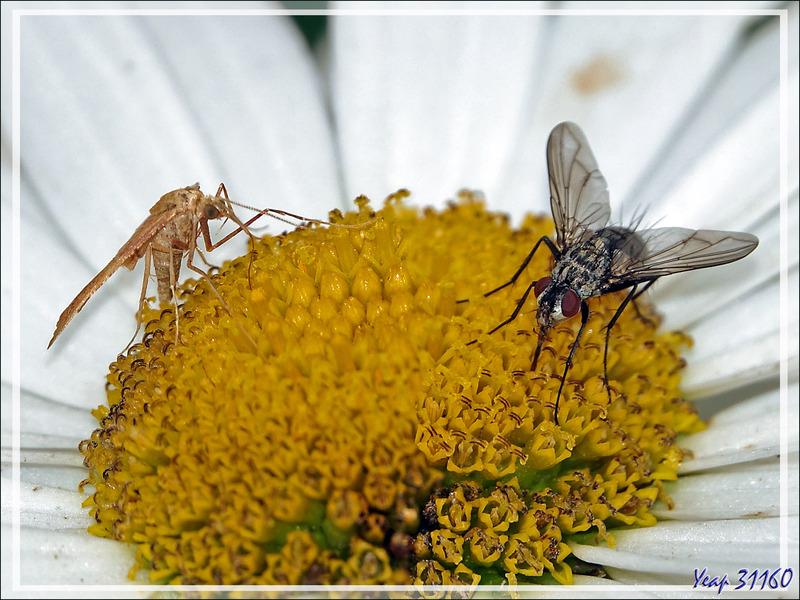 Papillon de nuit Crocalle du genévrier, Crocallis du genêt (Crocallis dardoinaria) et Mouche à damiers femelle - Lartigau - Milhas - 31