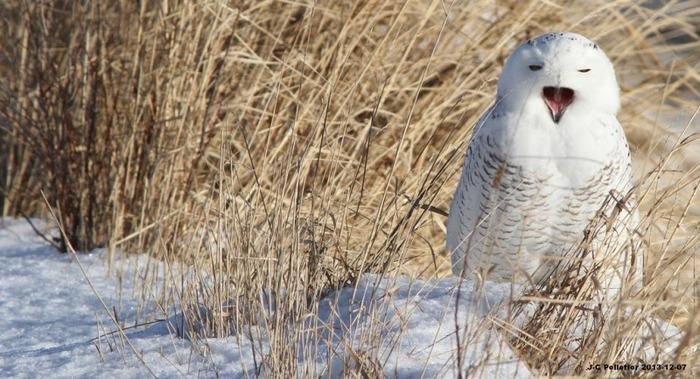 Le Harfang Des Neiges De Retour Dans Le Sud-Ouest De L'Ontario -