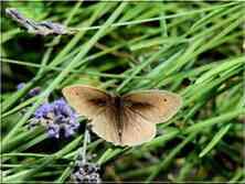 Le Myrtil femelle Maniola jurtina Nymphalidae