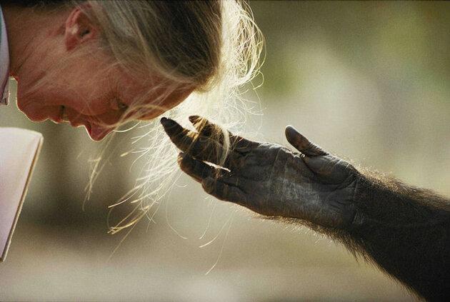 Tendresse chimpanzé