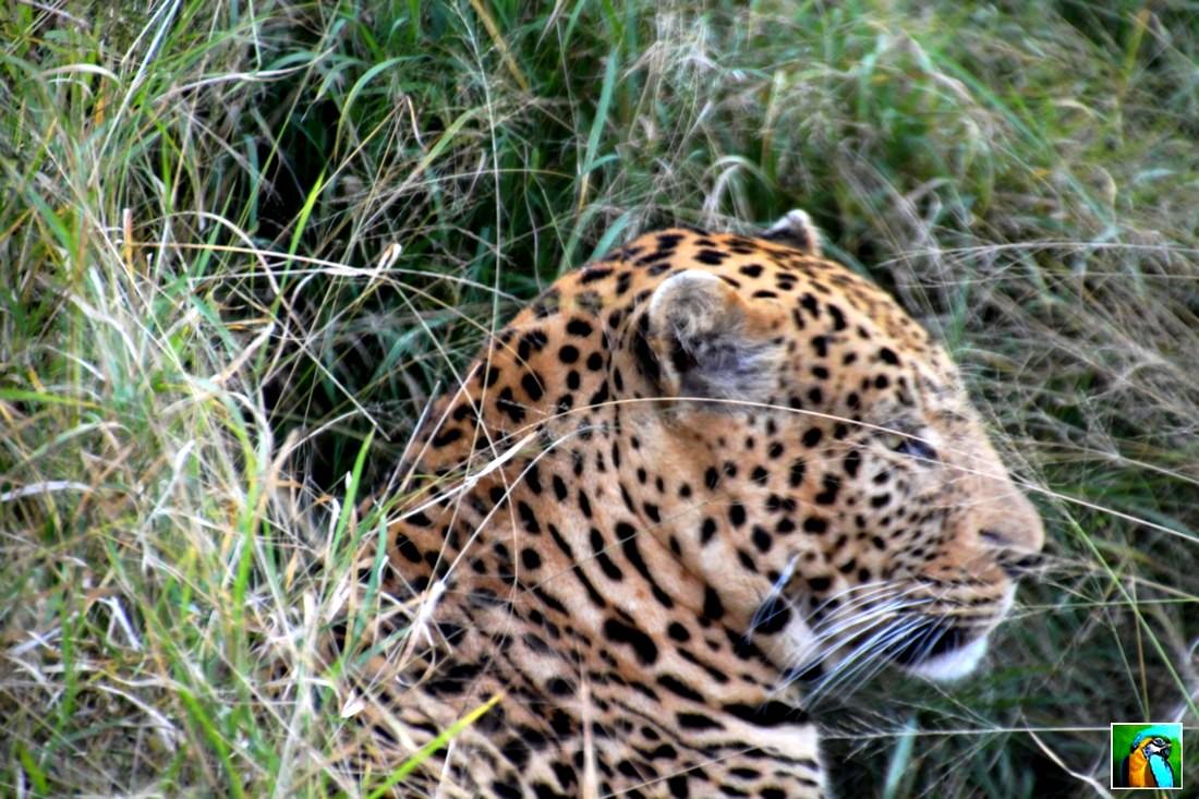 AFRIQUE  DU  SUD début juin 2018 : LEOPARDS