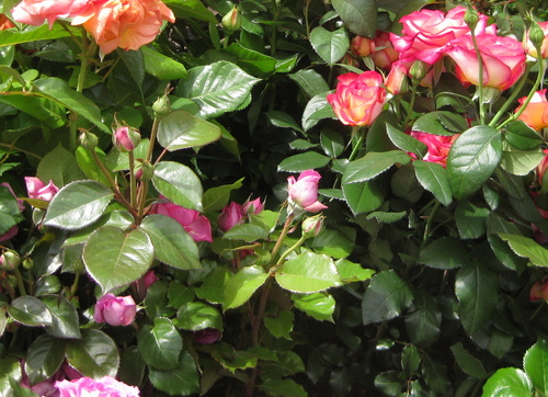 Rose n° 77 demandée par Jean Pierre