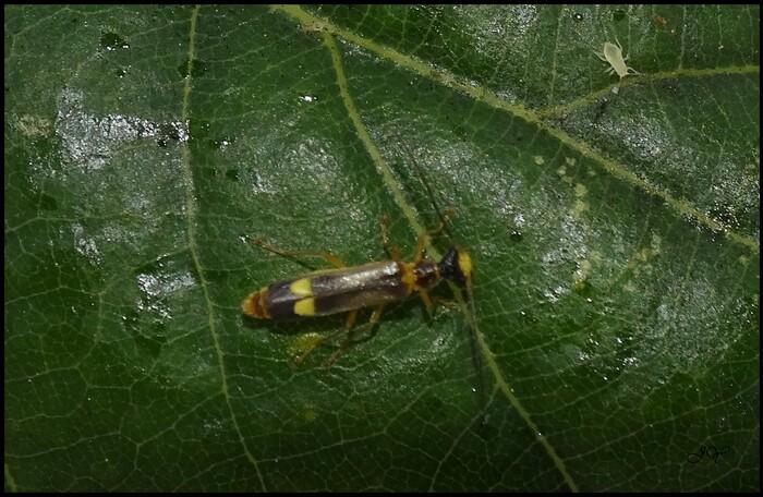 Malthinus flaveolus.