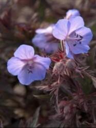 geranium-dark-reiter-copie-1.jpg