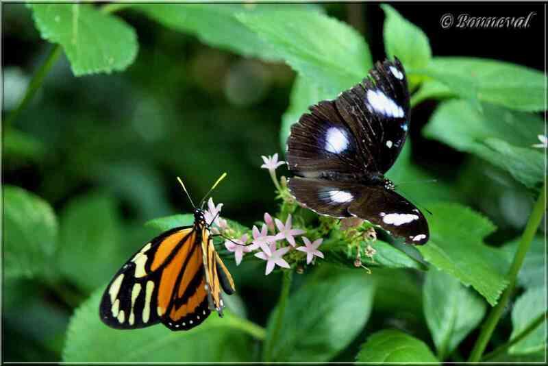 Papillons tropicaux Heliconius ismenius et Hypolimnas bolina