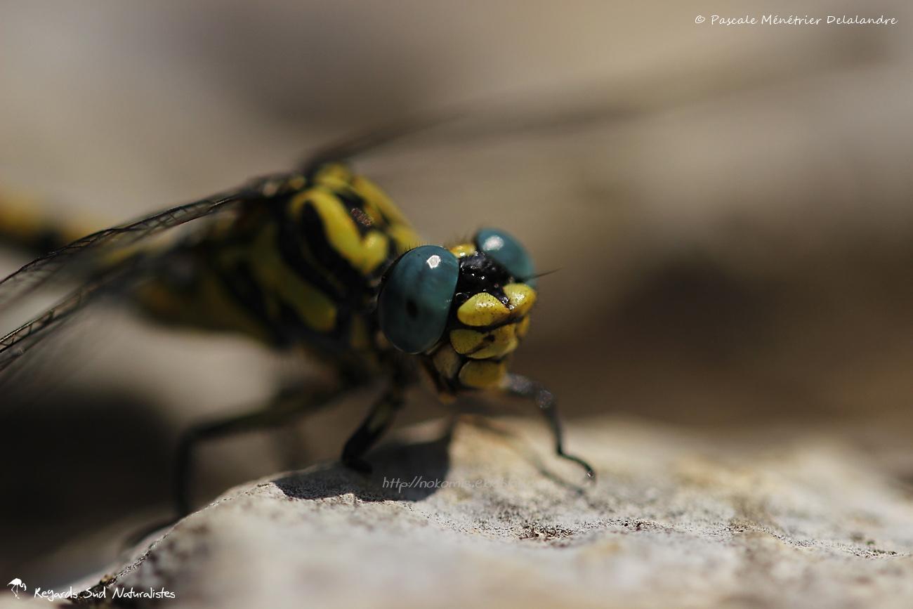 Onychogomphe à crochets ♀ - Onychogomphus uncatus