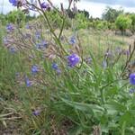 Buglosse azurée-Anchusa azurea -Tuchan Avril 2015
