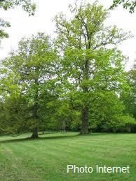 forêt chênes