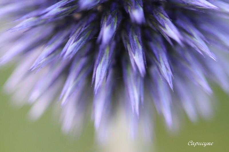 charon-bleu-echinops 6703