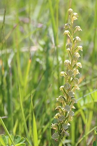Orchis anthropophora - Orchis l'homme pendu
