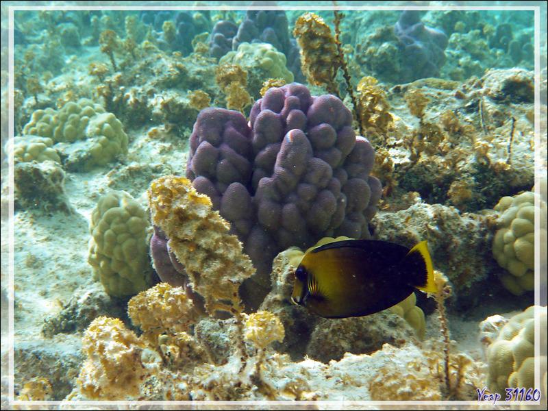 Chirurgien mimétique du Pacifique ou chocolat, Chocolate surgeonfish (Acanthurus pyroferus) - Lagon de la Pension Kuriri - Maupiti - Polynésie française