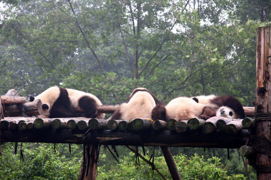 sanctuaires du grand panda