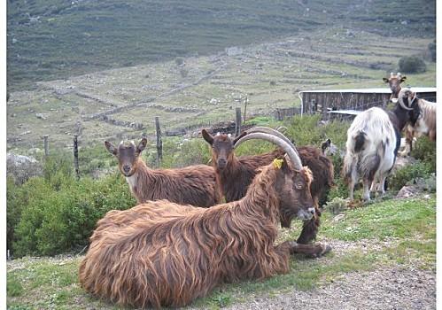 chèvres3jpg