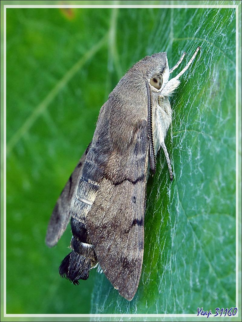 Papillon Moro sphinx au repos, Sphinx colibri, Sphinx du caille-lait (Macroglossum stellatarum) - La Couarde-sur-Mer - Ile de Ré - 17