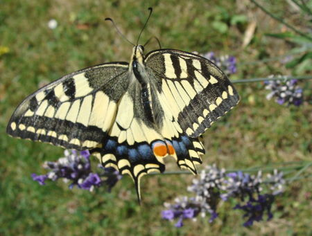 essai_macro_le_machaon