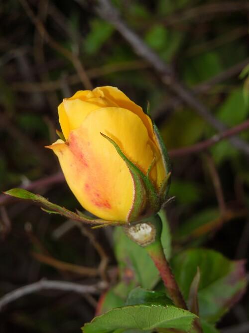 Les roses d'or : la naissance