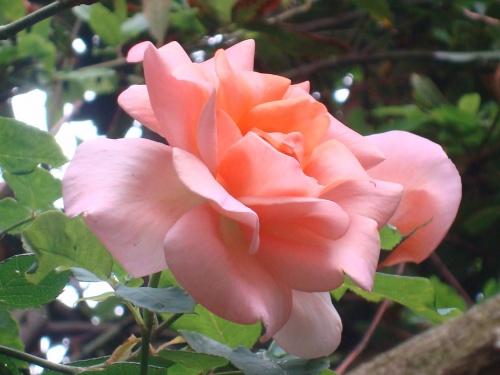 SAINTE ROSE...