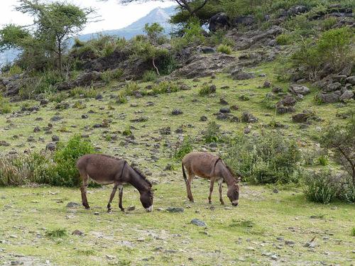 les ânes d'Abyssinie
