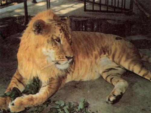 tigron ou ligron