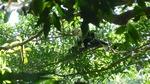 Rincon de la vieja singe capuccino 4