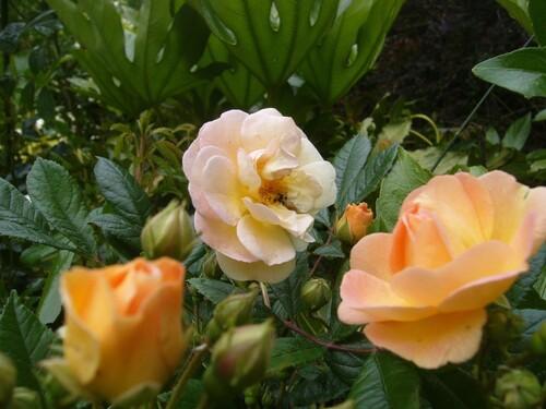 Juin, jardin de roses