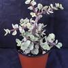 crassula portulacea variegata