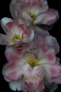 Tulipes Angélique5