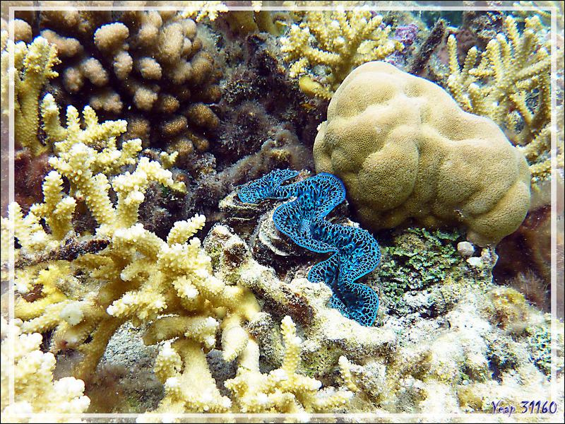 Aquarium au bénitier - Jardin de corail - Motu Tautau - Taha'a - Polynésie française