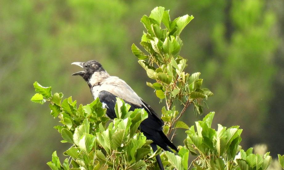 Corvus cornix......