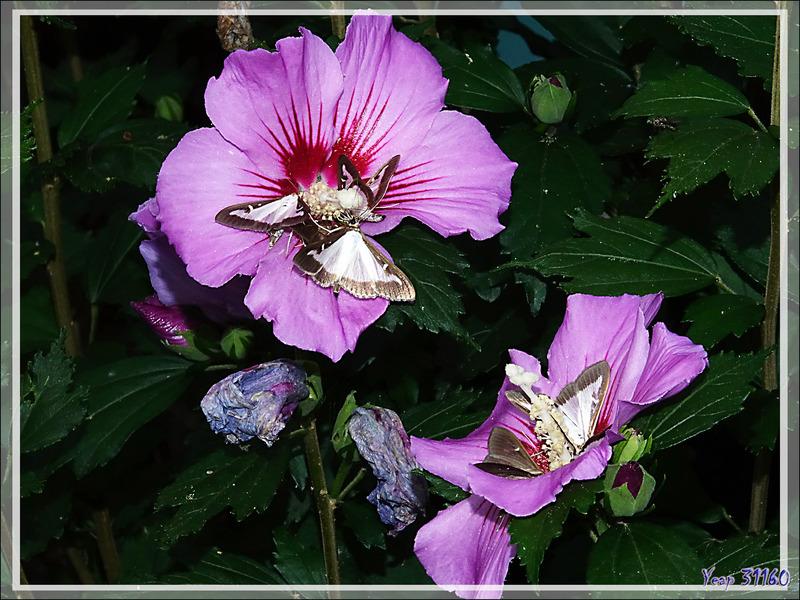 Une invasion par le papillon Pyrale du buis (Cydalima perspectalis) suite ... - Lartigau - Milhas - 31