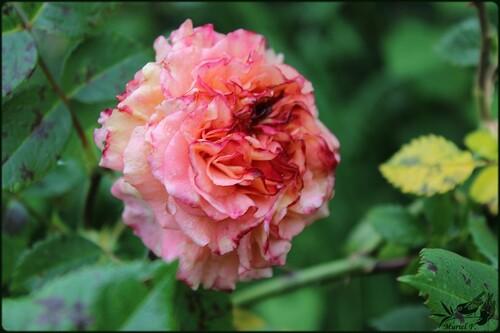 Après les pluies    ..... les averses et les roses: