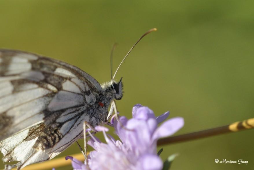 papillon-demi-deuil-1375.jpg