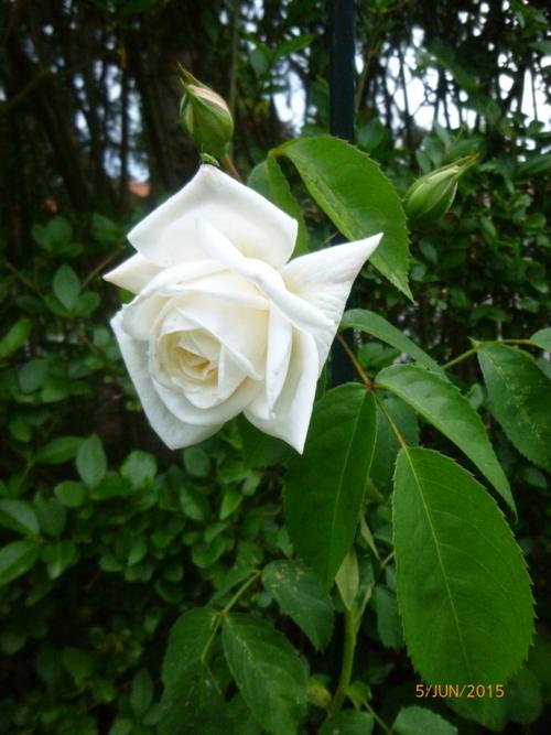 Encore des roses (suite)