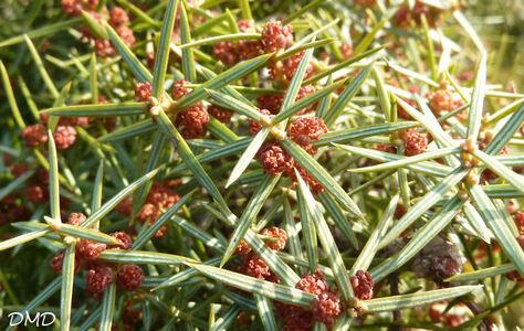 Juniperus oxycedrus - oxycèdre - cade